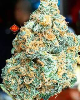#JesusOG 😇🔥🔥🔥 #Weed #Weedporn #W420 #HellsAngelsOG #JackTheRipper #Perfection #Packed #Loud #Trichomes #FlavorBomb #Terps #HighGrade #HighQuality #Haze4Breakfast #1ehulp #Amsterdam #StonersParadise #BestInTown